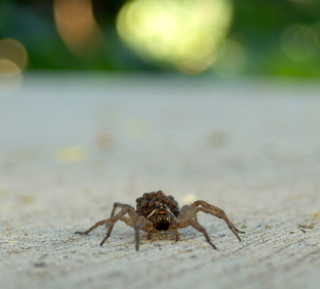 wolf spider nature for kids