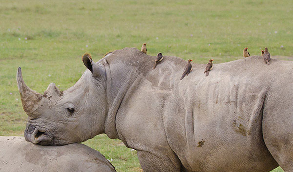 what is the relationship between an oxpecker and a rhino