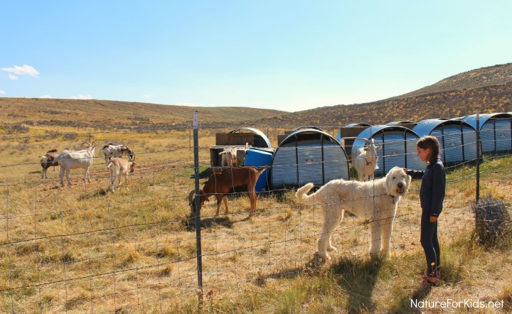 pack goat ranch